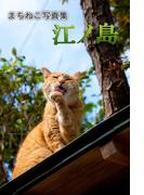まちねこ写真集・江ノ島(どうぶつZOO館)