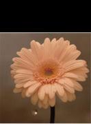 花は咲く (NHK「明日へ」東日本大震災復興支援ソング)